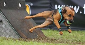 small brown dog jumping off stand with small yellow ball in mouth basic equipment of flyball ball based on size of dog