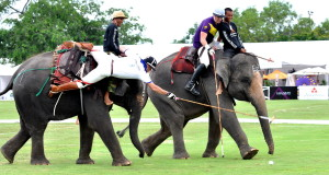 man dangaling off elephant to reach ball basic elephant polo equipment polo stick and polo ball